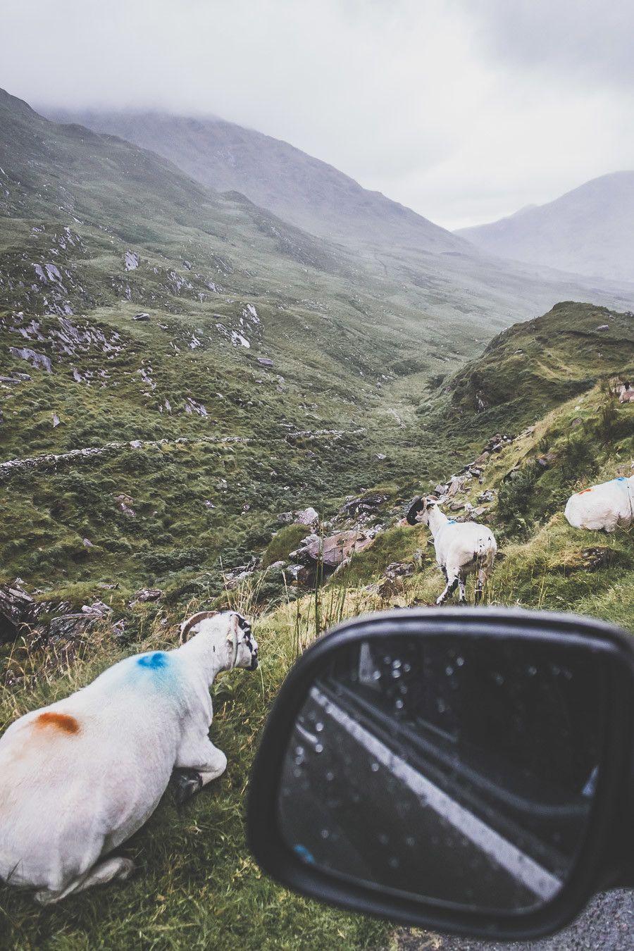 routes irlandaises avec mouton