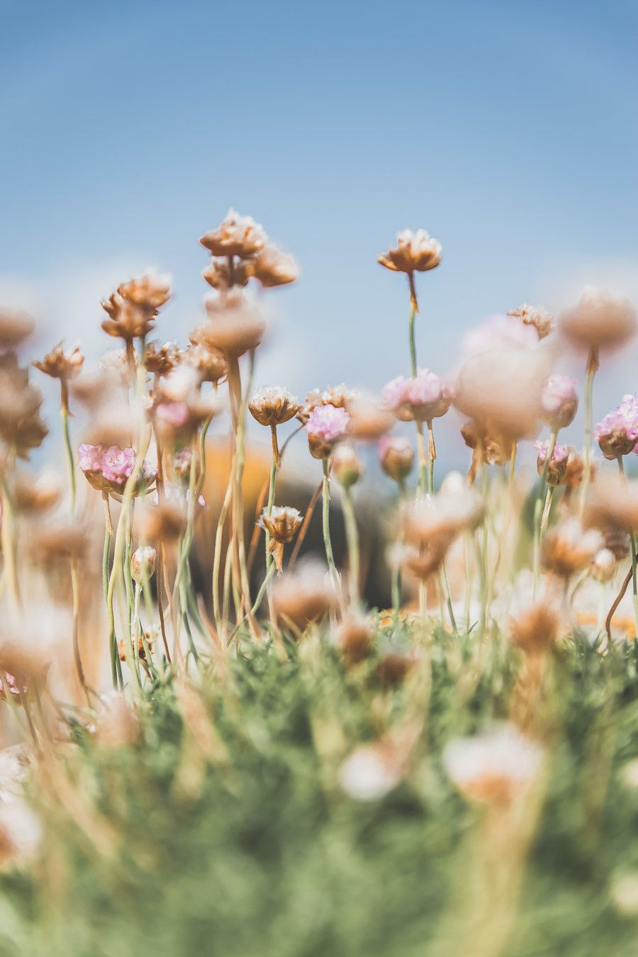 Petites fleurs en Irlande