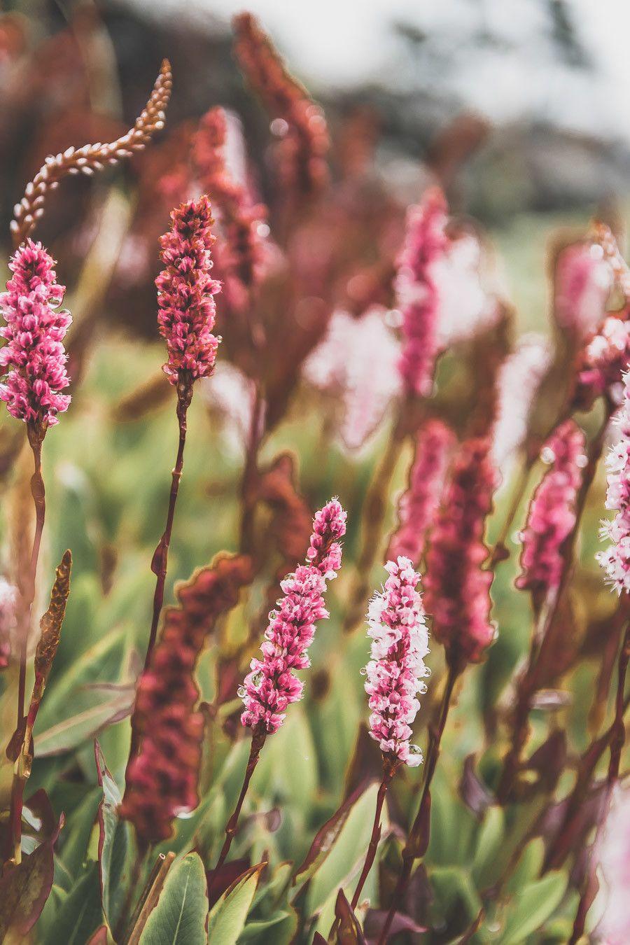 Fleurs des champs en Irlande