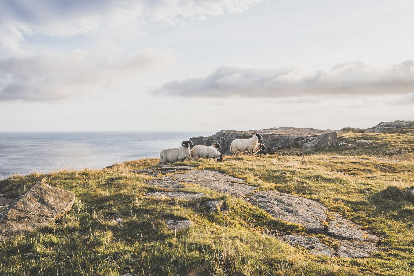 troupeau moutons en irlande