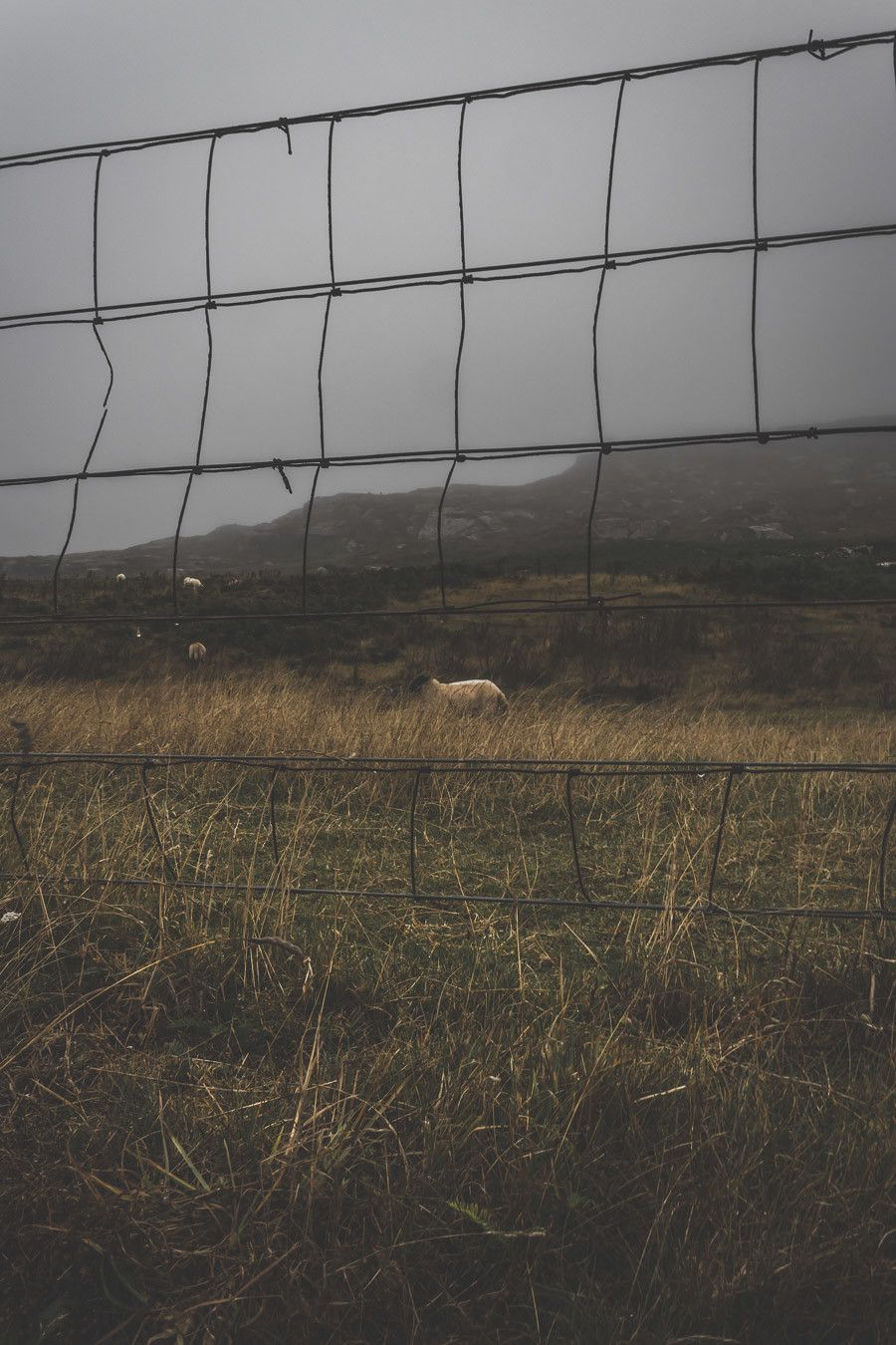 Un mouton sous la brume