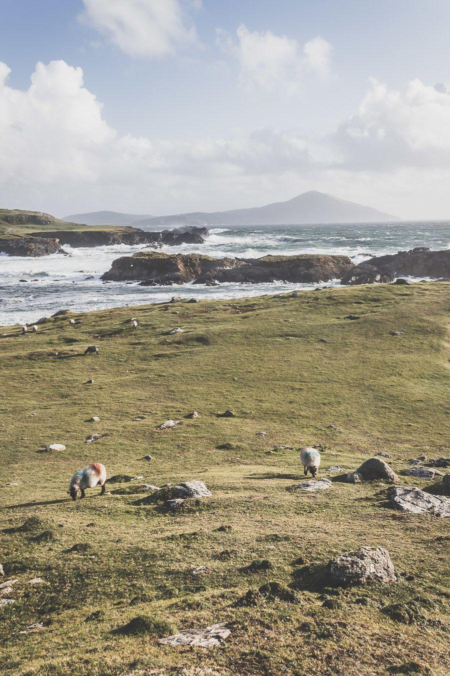 Moutons et herbe verte dans le comté de Mayo en Irlande