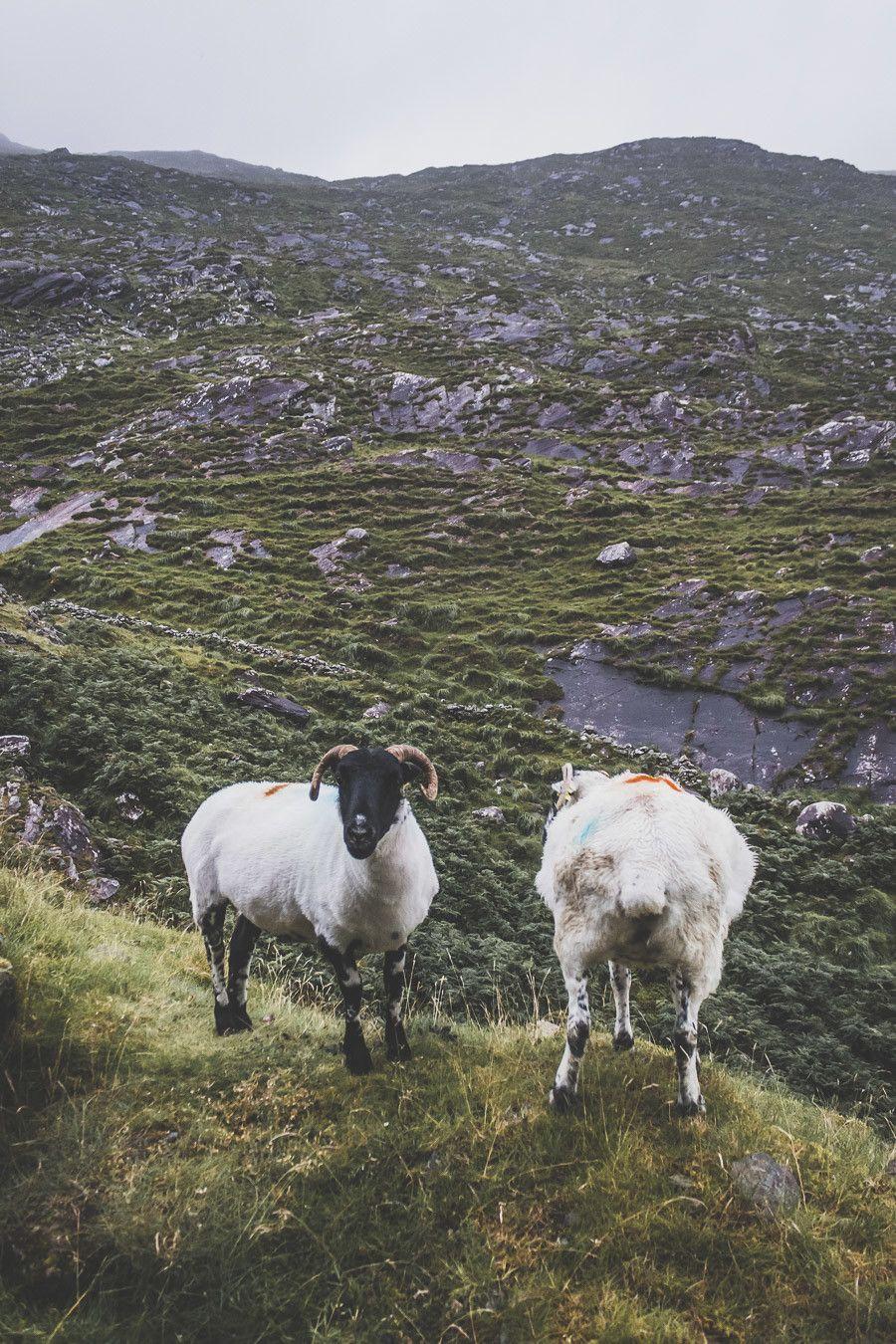 Les moutons du bord de route dans le comté de Kerry