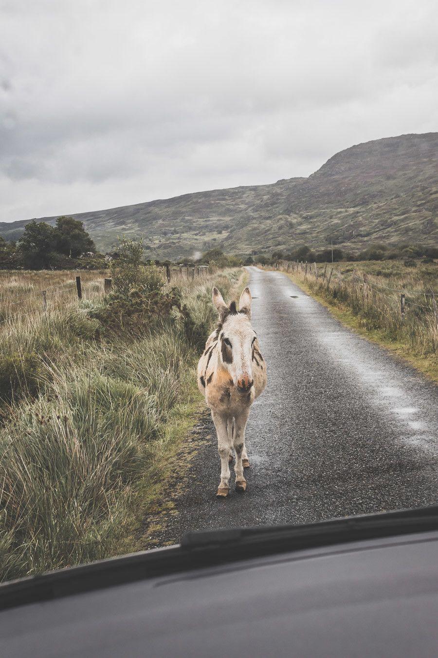 Rencontre impromptue sur le bord de la route dans le black Valley Road en Irlande