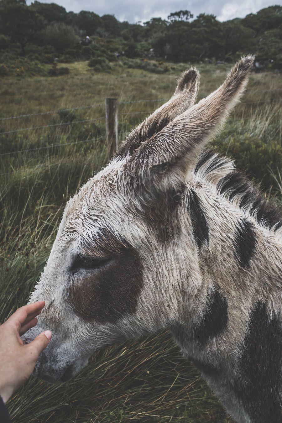 Les ânes du Killarney National Park en Irlande