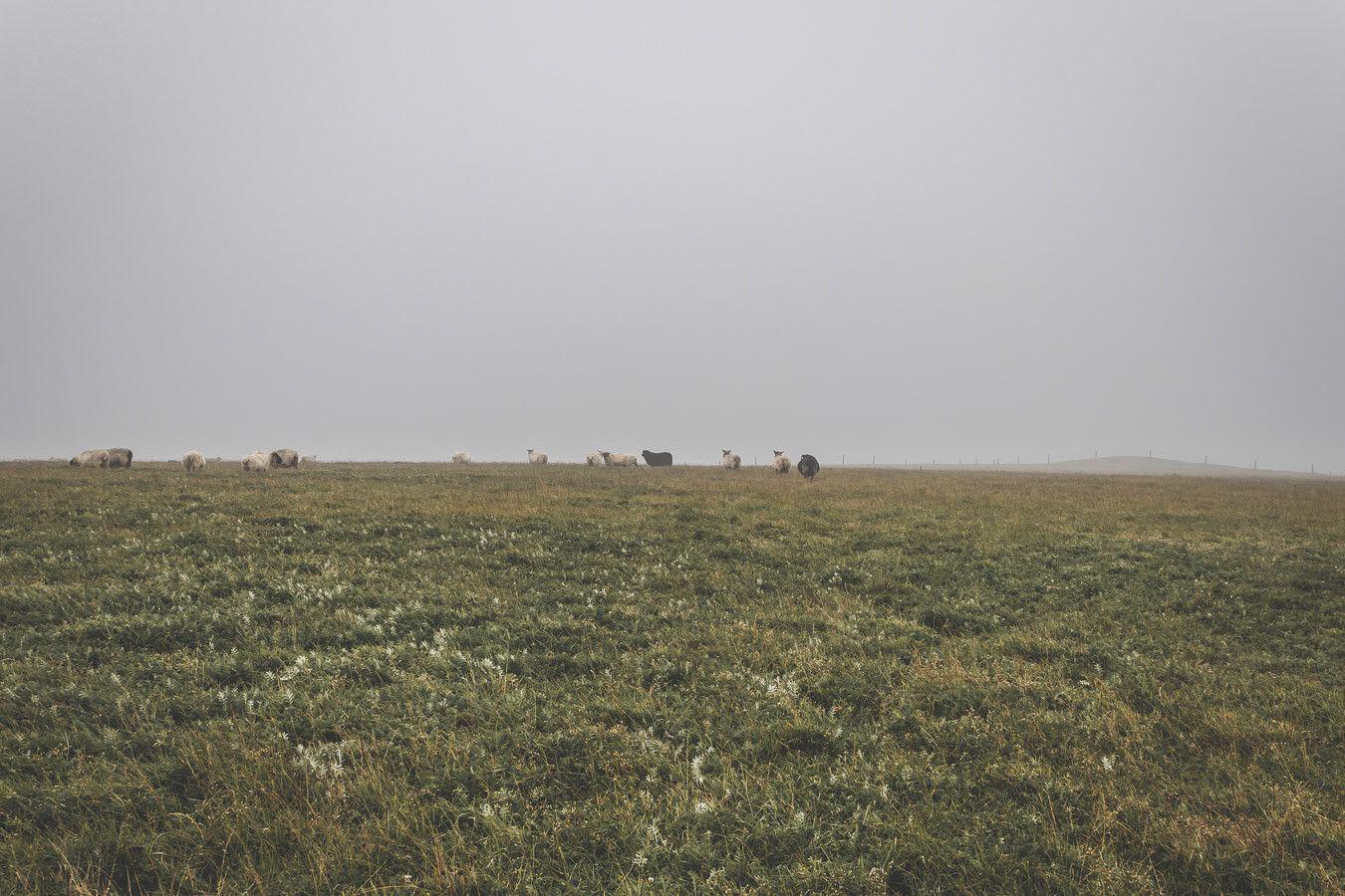 Des moutons et des champs verts à perte de vue