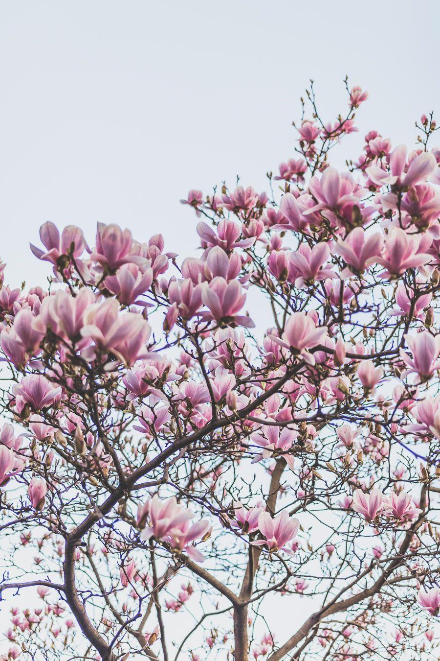 magnolia en fleurs à Lyon