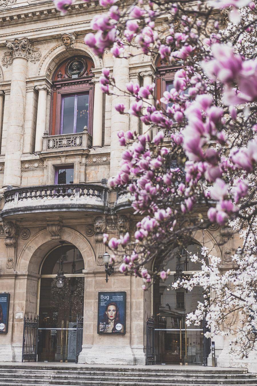 Magnolias en fleurs sur la Place des Célestins