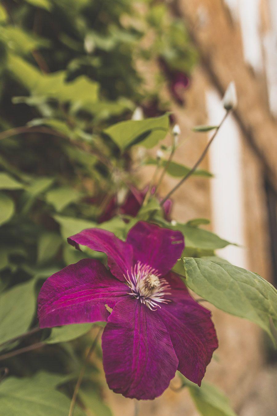 Fleur à Cordes-sur-Ciel