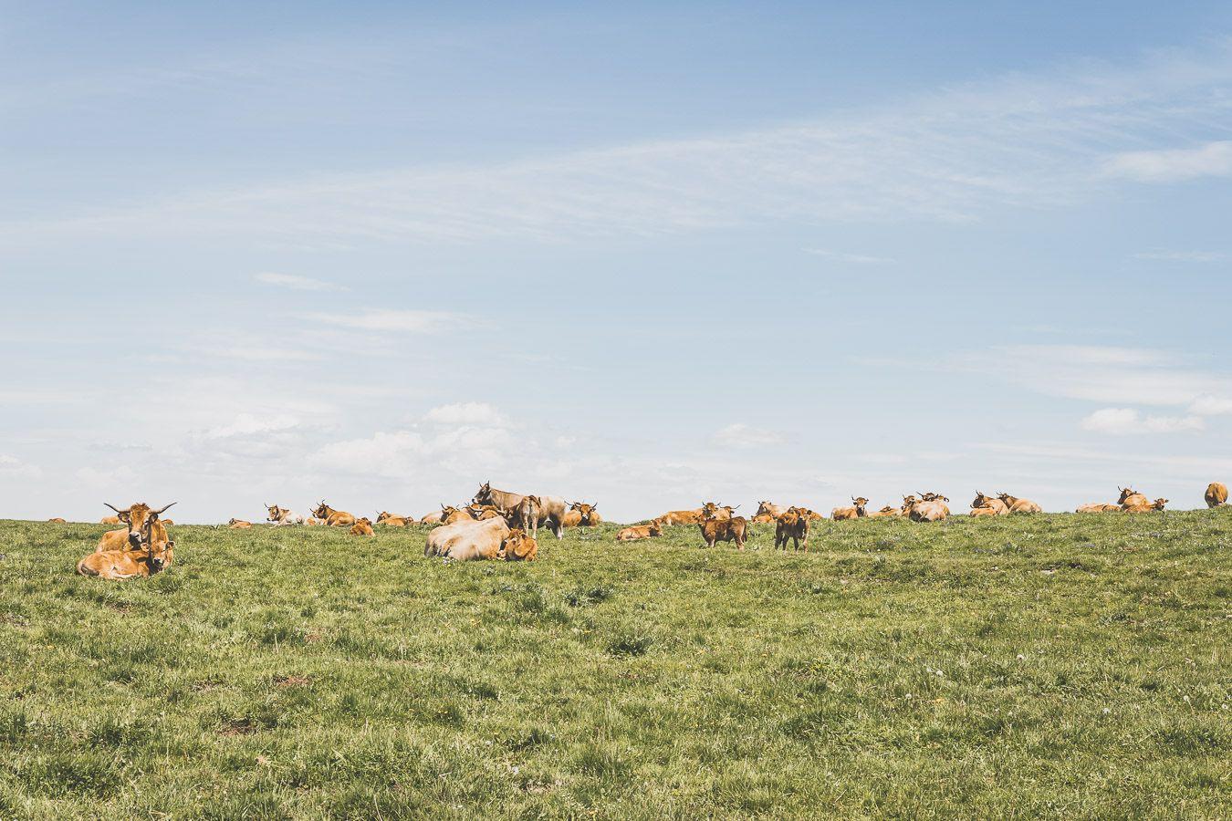 Vaches sur l'Aubrac