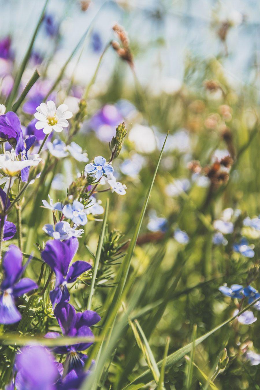Fleurs sauvages de l'Aubrac : Lozère.
