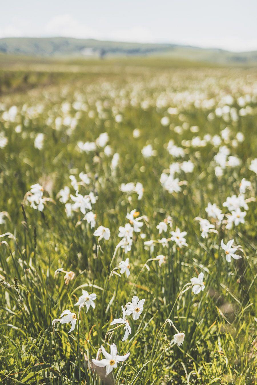 Fleurs sauvages en Lozère