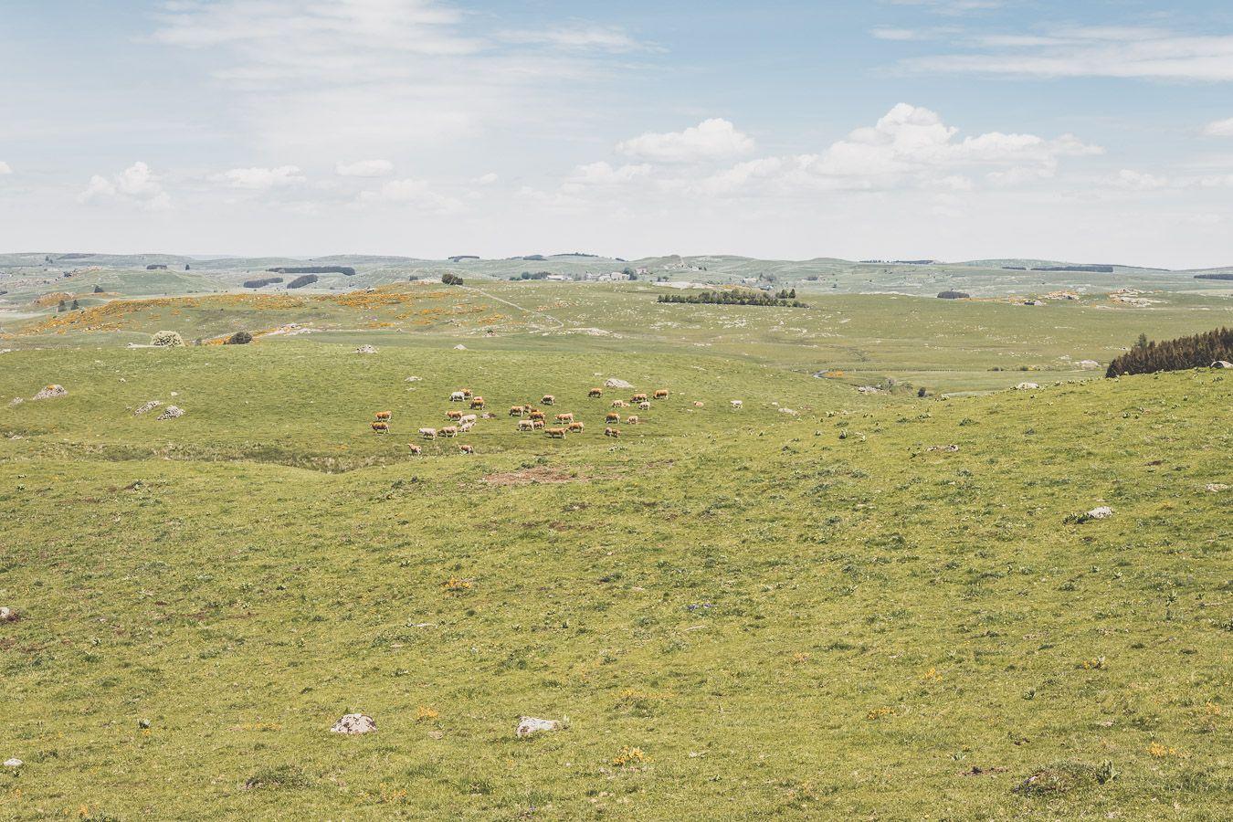 Vaches sur l'Aubrac - Lozère, Occitanie