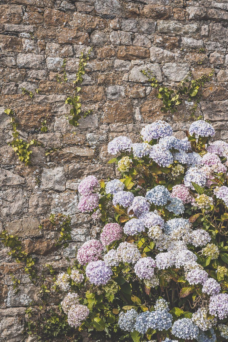 Hortensias en Bretagne