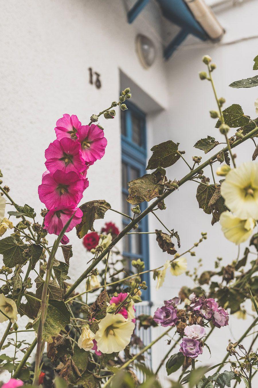 Roses trémières en Bretagne